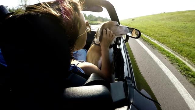 Slow motion of beagle enjoying car ride
