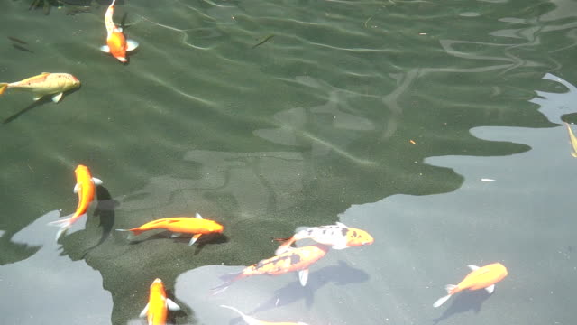 Slow motion of Beautiful koi fish swimming in the pond