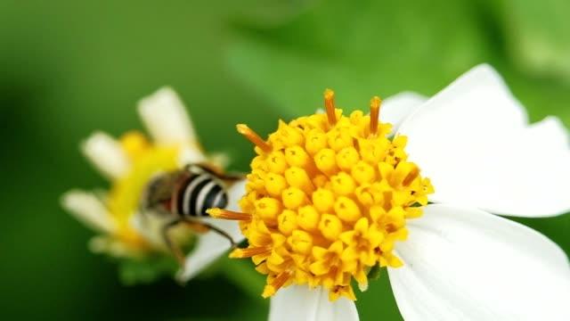 vídeos y material grabado en eventos de stock de cámara lenta de abejas recogiendo polen de una flor amarilla. macro shot - insecto himenóptero