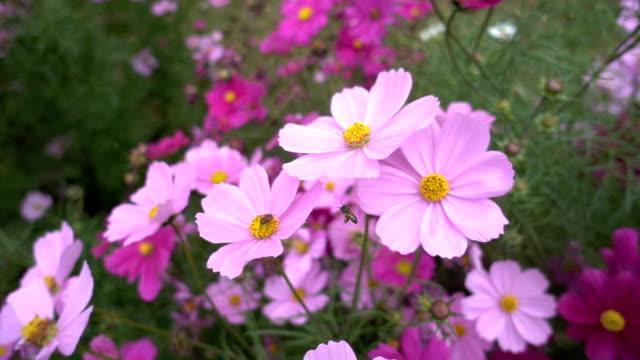 slowmotion av biet samlar nektar på blomma - djurlem bildbanksvideor och videomaterial från bakom kulisserna