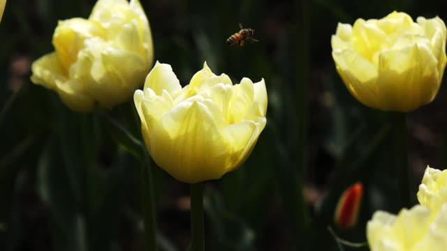 vidéos et rushes de mouvement lent d'une abeille qui vole sur tulip - composition florale