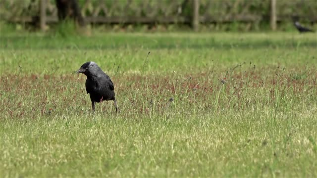 Slow motion of black raven on the green Slow motion of black raven on the green. scavenging stock videos & royalty-free footage