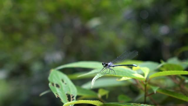 slow motion of blue-tailed damselfly, ischnura elegans flapping its wings - libellulidae video stock e b–roll