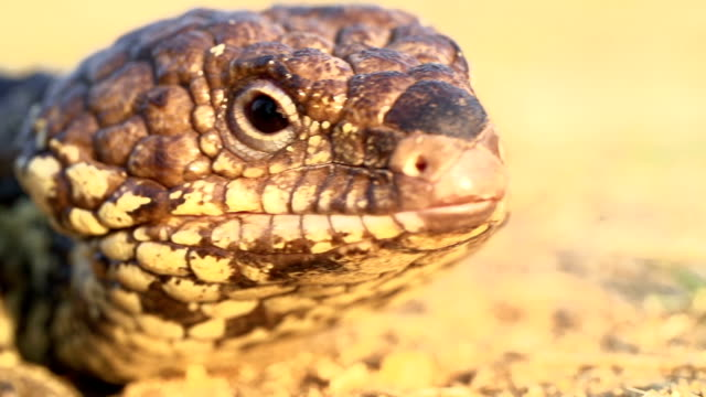 Slow motion of blue-tongued skink displaying characteristic blue tongue Slow motion of blue-tongued skink displaying characteristic blue tongue skink stock videos & royalty-free footage