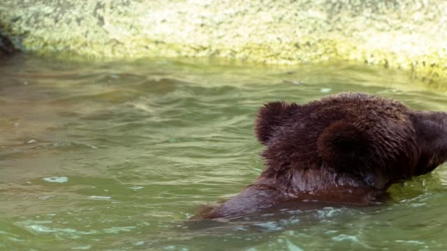 Slow Motion of Brown Bear bathing in river to refreshed. Adult Ursus Arctos