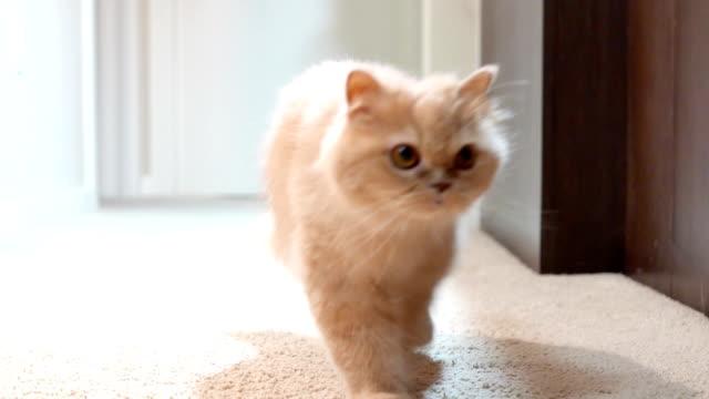 slow motion av katt gå framför kamera - katt inomhus bildbanksvideor och videomaterial från bakom kulisserna