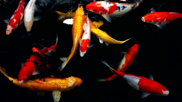 slow motion of crayfish or fancy carp swimming (koi fish) in the aquarium, top view - пруд стоковые видео и кадры b-roll