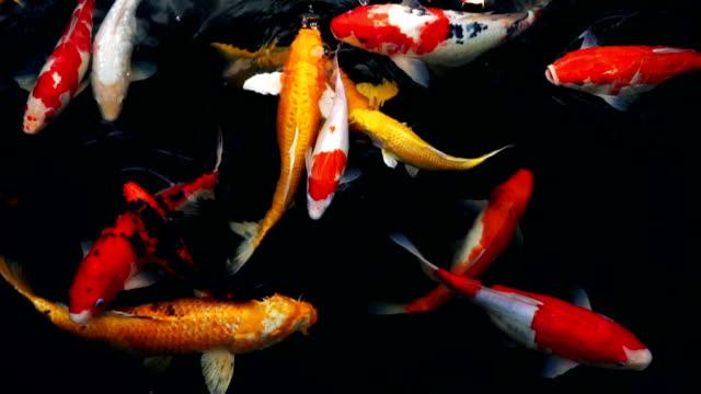 vídeos y material grabado en eventos de stock de lenta de cigalas o lujo carpa nadando (peces koi) en el acuario, vista superior - charca
