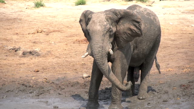 Slow motion of elephant bull spraying mud,Botswana video