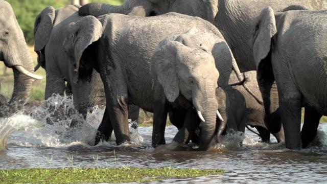 Slow motion of elephant bulls drinking,Botswana
