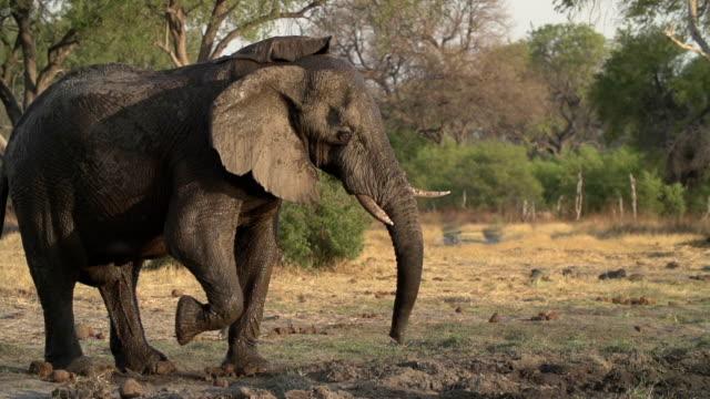 Slow motion of elephant shaking head irritably.Botswana video