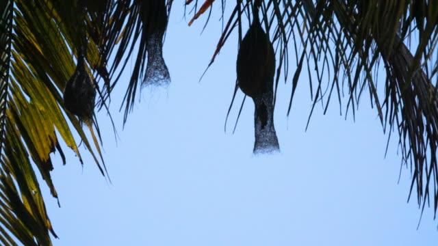 slow motion av pilfinken flyger in i boet på kokosnöt träd i thailand - kungen av thailand bildbanksvideor och videomaterial från bakom kulisserna