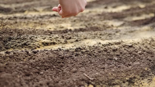 Slow motion of farmer sows carrot seeds in prepared ground, organic farming. video