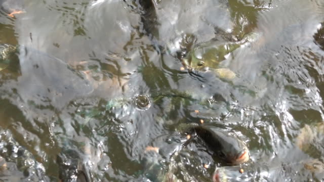slow motion of feeding many fish in pond - siluriformes video stock e b–roll