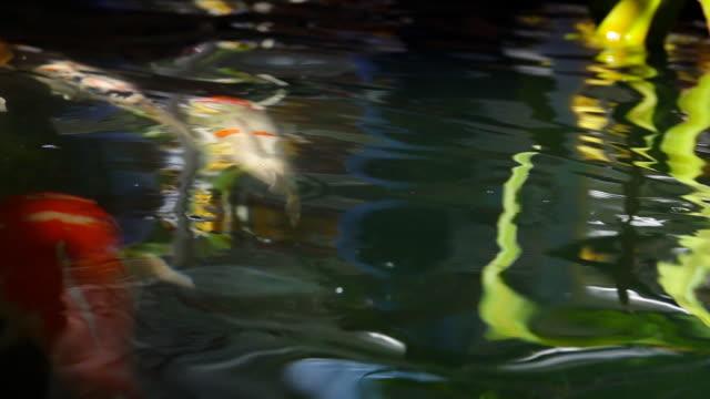 slow motion of fish koi - spoiler filmów i materiałów b-roll