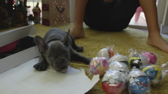 Slow motion of French Bulldog puppy around gifts on Christmas day video