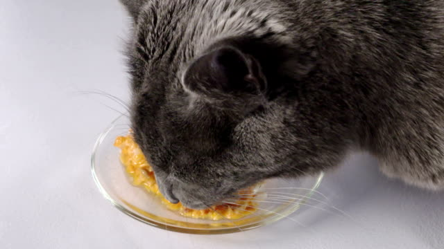 vídeos de stock e filmes b-roll de slow motion of gray domestic cat eating wet canned food for cats from a plate - lata comida gato