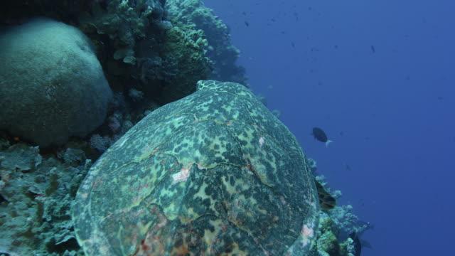 vídeos y material grabado en eventos de stock de movimiento lento de la tortuga hawksbill a punto de tomar un bocado de un poco de coral suave. cámara roja. - palaos