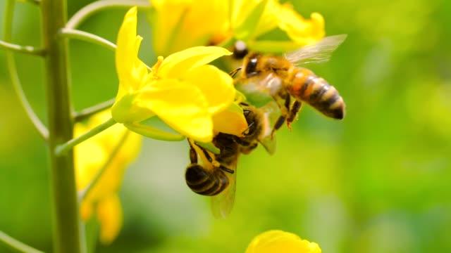 slow motion av honung bee på blomma - pollinering bildbanksvideor och videomaterial från bakom kulisserna