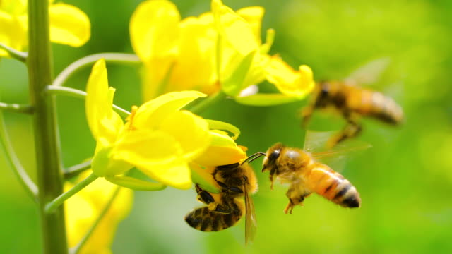 slow motion of honey bee on flower - ape domestica video stock e b–roll