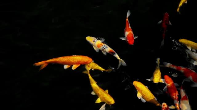 vídeos y material grabado en eventos de stock de cámara lenta de peces koi o peces carpa de lujo nadando en el acuario - charca
