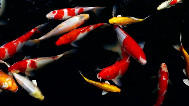 slow motion of Koi fish swimming in the aquarium, Fancy carp fish, Top view