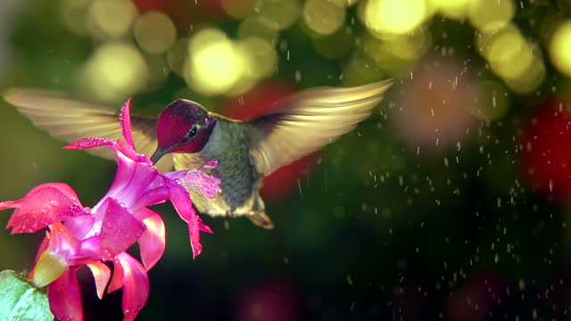 Slow motion of male hummingbird visits pink flower on rainy day,  45 degree angle view video