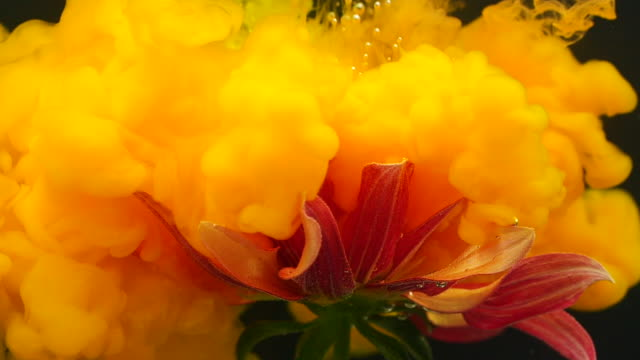 Slow motion of orange gerbera flower with ink flowing underwater video