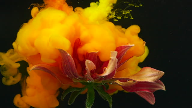 Slow motion of orange gerbera flower with ink flowing underwater