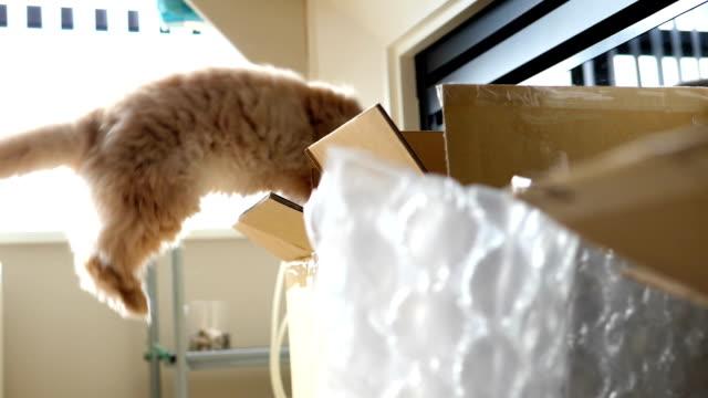 ペルシャ猫ホワイト暴露バック ライト付きのボックスに飛び越えてのスローモーション ビデオ
