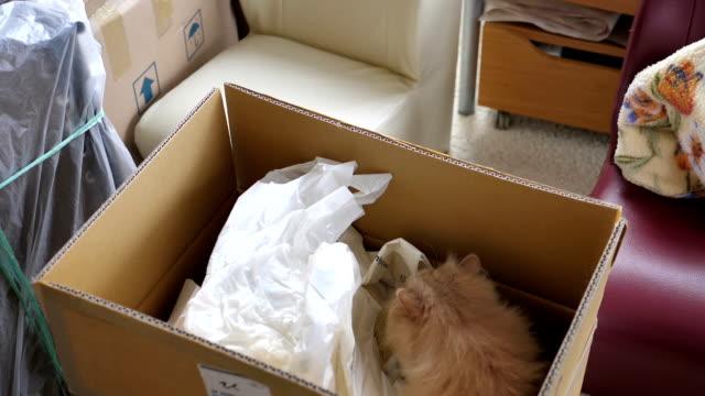 Zeitlupe der persischen Katze spielen und verstecken durch Tasche in Box – Video