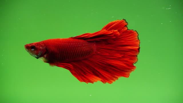 緑のスクリーンの上を泳ぐシャムの戦い魚のスローモーション - 魚点の映像素材/bロール