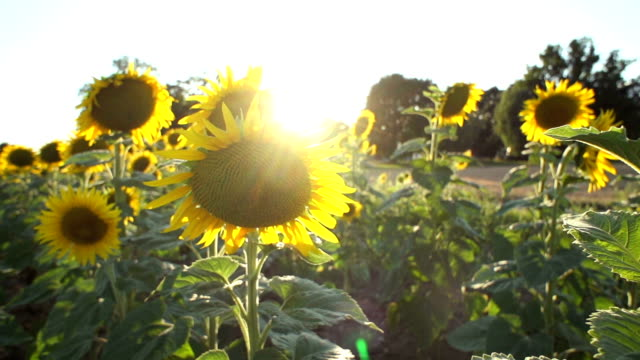 Slow motion of sunflowers at sunset video