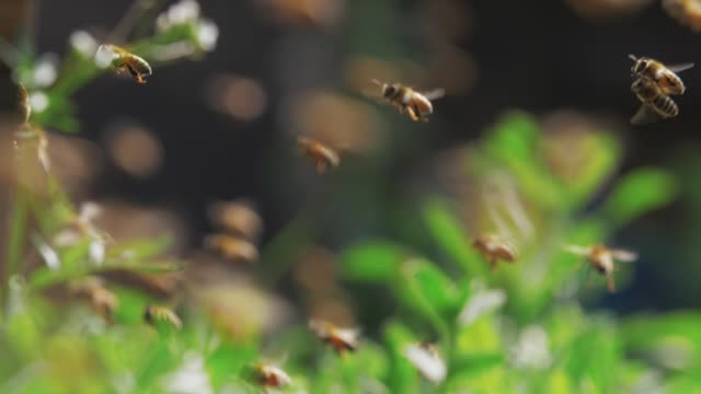 Slow motion of swarm of bees, honey bee flying around beehive