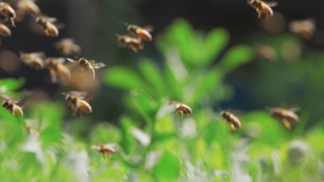 slow motion of swarm of bees, honey bee flying around beehive - pszczoła filmów i materiałów b-roll