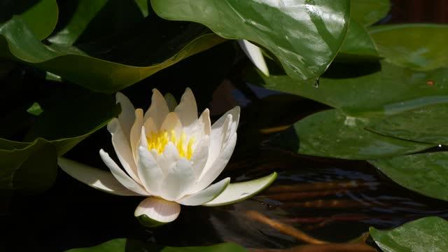 白蓮のユリ花の葉から落ちる水のスローモーション - 清らか点の映像素材/bロール