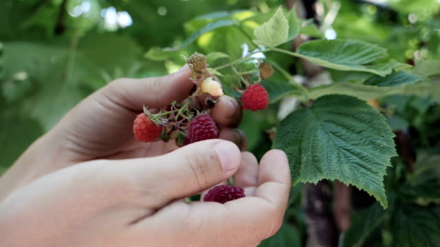 vídeos de stock e filmes b-roll de slow motion of woman's hands collecting raspberries. - baga