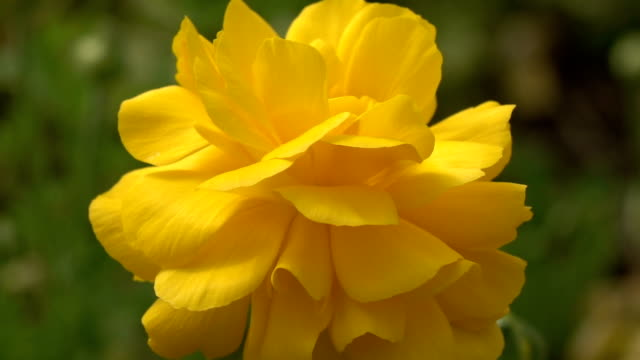 Slow Motion Of Yellow Ranunculus Flower In Greenhouse video