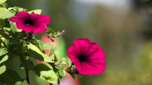 Slow motion on red flower in garden