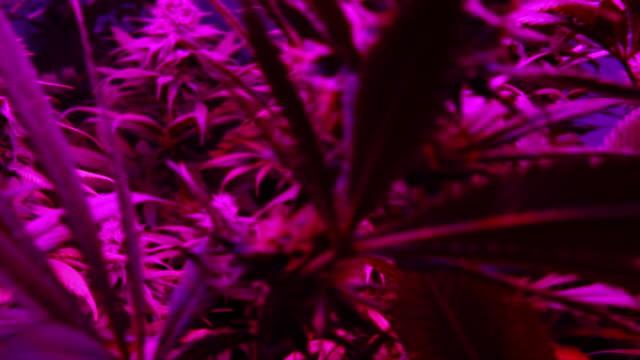 slow motion plantage av marijuana före skörd. professionell inomhus cannabisodling - thc bildbanksvideor och videomaterial från bakom kulisserna