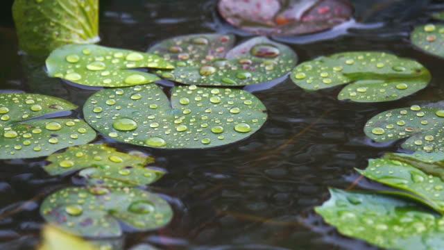 vídeos y material grabado en eventos de stock de gota de lluvia lenta en hoja de loto - charca