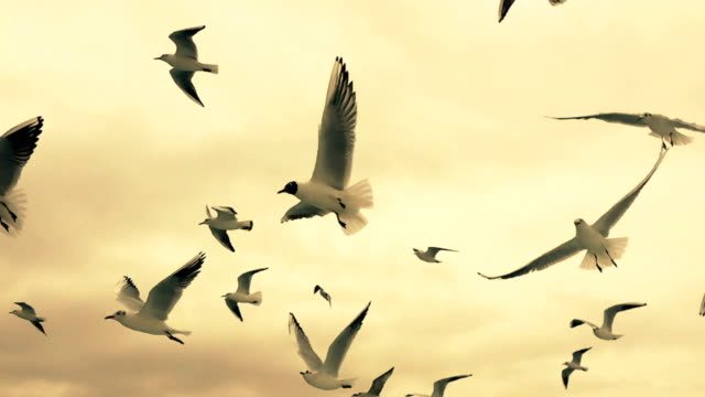 slow motion seagulls in the evening light