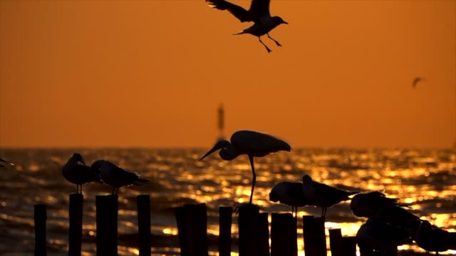 Slow motion seagulls in the evening light,Flying Slow motion seagulls in the evening light,Flying seagull stock videos & royalty-free footage