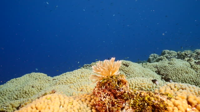 Slow Motion: Seascape of coral reef in Caribbean Sea / Curacao with fish, coral and Feather Duster Worm video