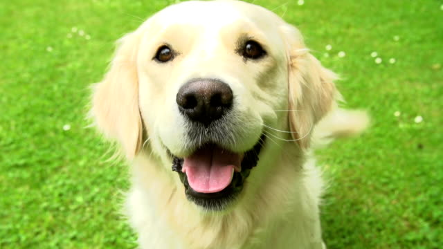 Slow Motion Sequence Of Happy Golden Retriever Dog On Lawn Golden retriever sits on grass wagging it's tail in slow motion.Shot on Sony FS700 in PAL format at a frame rate of 200fps tail stock videos & royalty-free footage