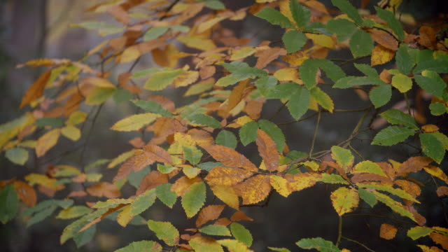 Slow Motion Sequence Of Leaves On Tree In Autumn Woodland video