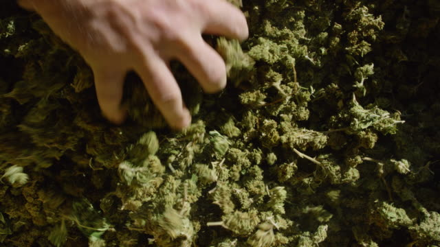 Slow Motion Shot of a Caucasian Man Raking His Hands through a Large Pile of Marijuana (Cannabis) Buds (Hemp) Slow Motion Shot of a Caucasian Man Raking His Hands through a Large Pile of Marijuana (Cannabis) Buds (Hemp) cannabidiol stock videos & royalty-free footage