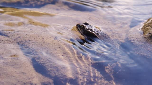 colpo al rallentatore di una rana maculata della columbia seduta nel dolce ruscello del fiume shoshone fuori cody, wyoming in una giornata di sole - anfibio video stock e b–roll