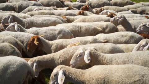 vidéos et rushes de tir au ralenti d'un troupeau de moutons près d'albstadt, allemagne - 20 secondes et plus