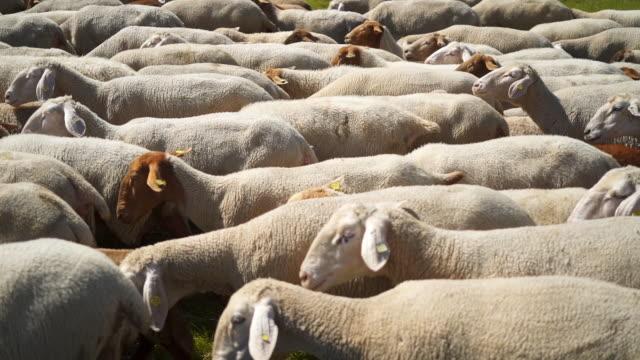 colpo al rallentatore di una mandria di pecore vicino ad albstadt, germania - 20 o più secondi video stock e b–roll